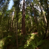 Old-growth patch at Pack Forest