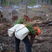 Supervising reforestation at Pack Forest