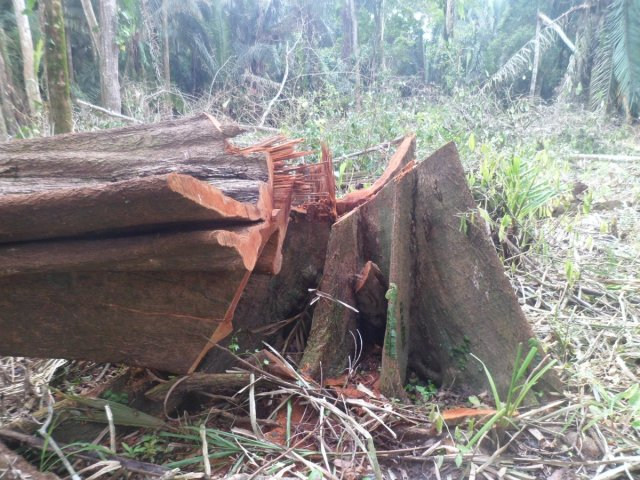 "Illegal Logging of a large tree of Pouteria reticulata (""Chupon"")"