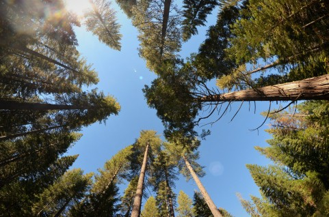 The canopy of a Mixed conifer forest at Blodgett Forest